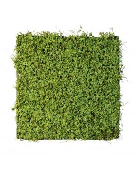 Zielona ściana Maori 50x50cm
